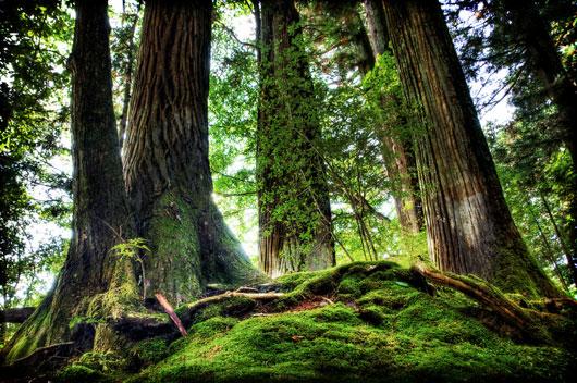 一枚板に使われる巨木