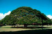 一枚板テーブルの人気材モンキーポッドはCMでも使われた「この木なんの木」だったって知ってました?